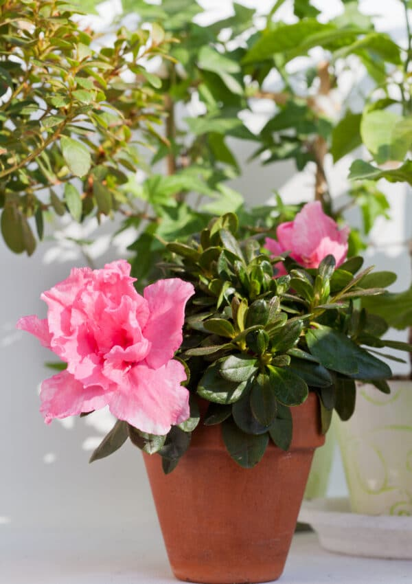 Learn how to grow indoor azalea plants and trees!