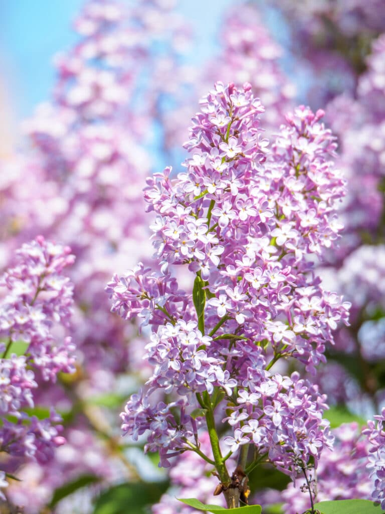 Learn how to plant a lilac bush for beautiful blooms!