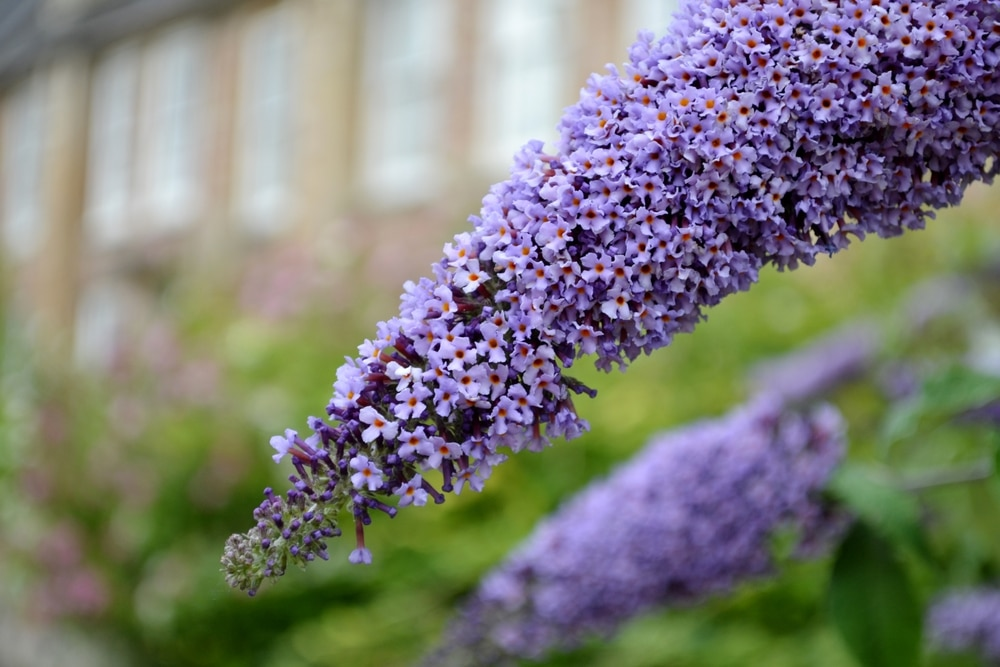 Butterfly bush is a drought-tolerant perennial!