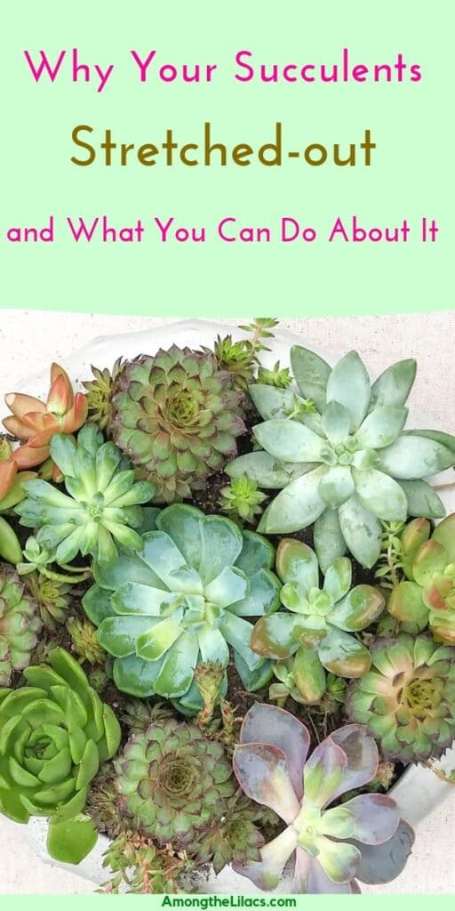 Learn why your succulents keep stretching and how to address the problem!