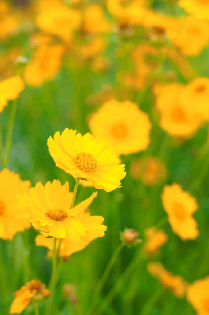 Coreopsis is a long-blooming and drought-tolerant perennial!