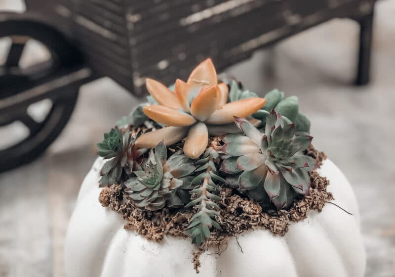 Learn how to make DIY Pumpkin Succulents!