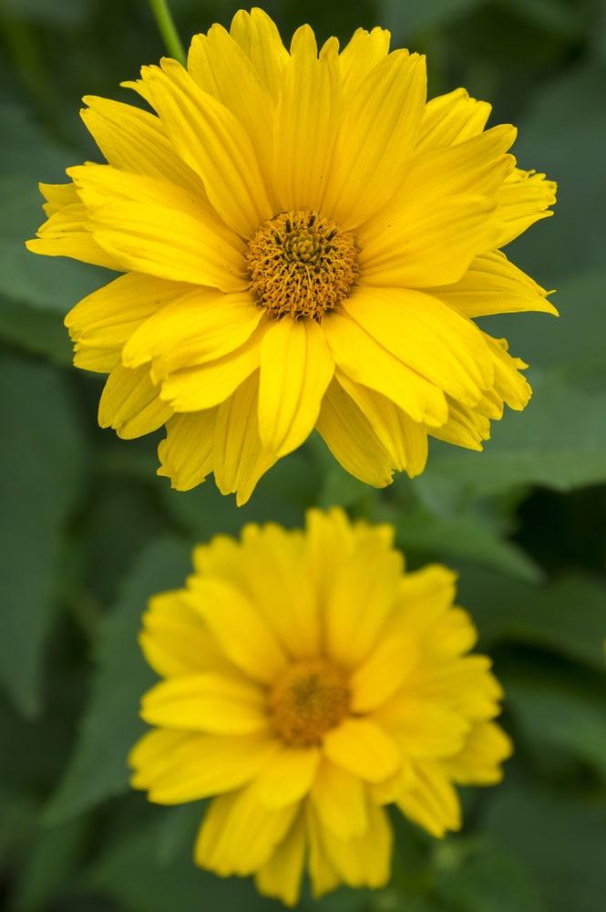 False sunflower is a drought-tolerant perennial!