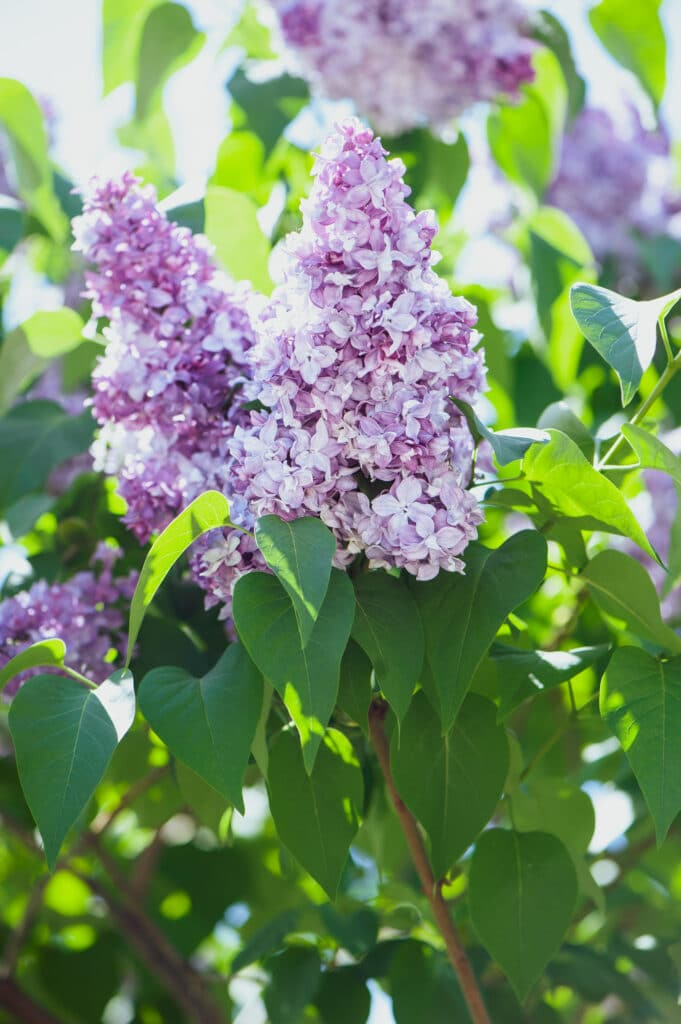 Learn how to plant and water lilacs!