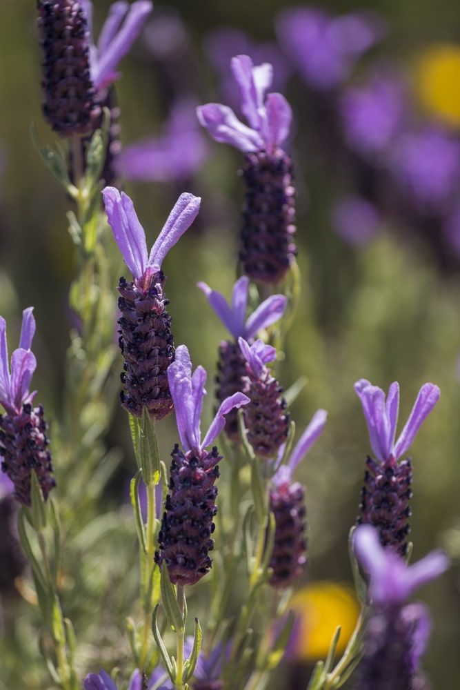Lavender is one of the most drought-tolerant perennials!