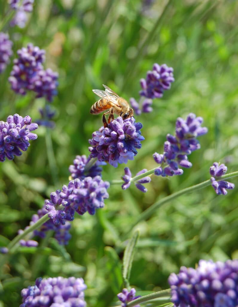 Learn how to grow lavender in your yard!