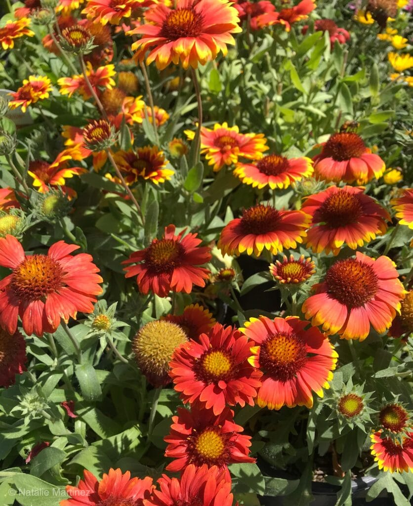 Learn which perennials are drought-tolerant!