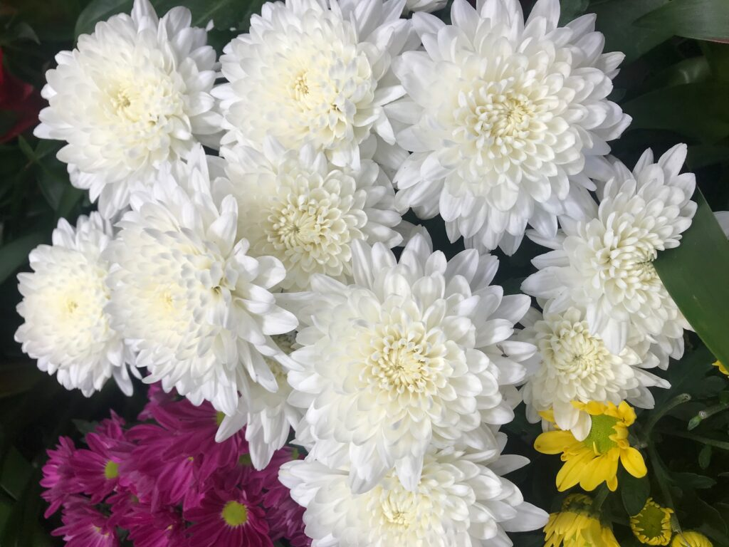 Lean how to care for chrysanthemums!