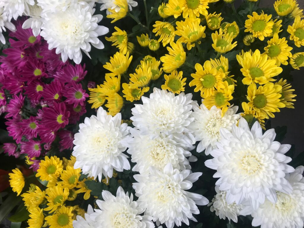 Learn how to care for chrysanthemums this Fall!