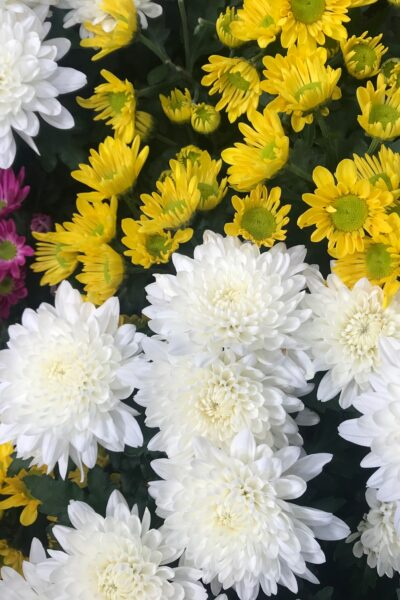 How to Care for Chrysanthemums