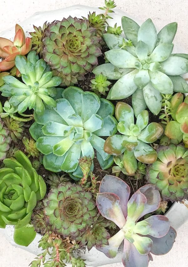 How to Plant Succulents for a Beautiful Arrangement