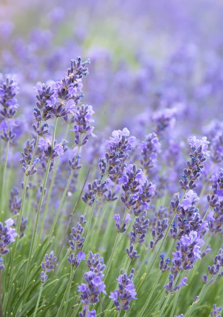 Lavender is one of the best-smelling and most fragrant flowers you can plant in your garden!