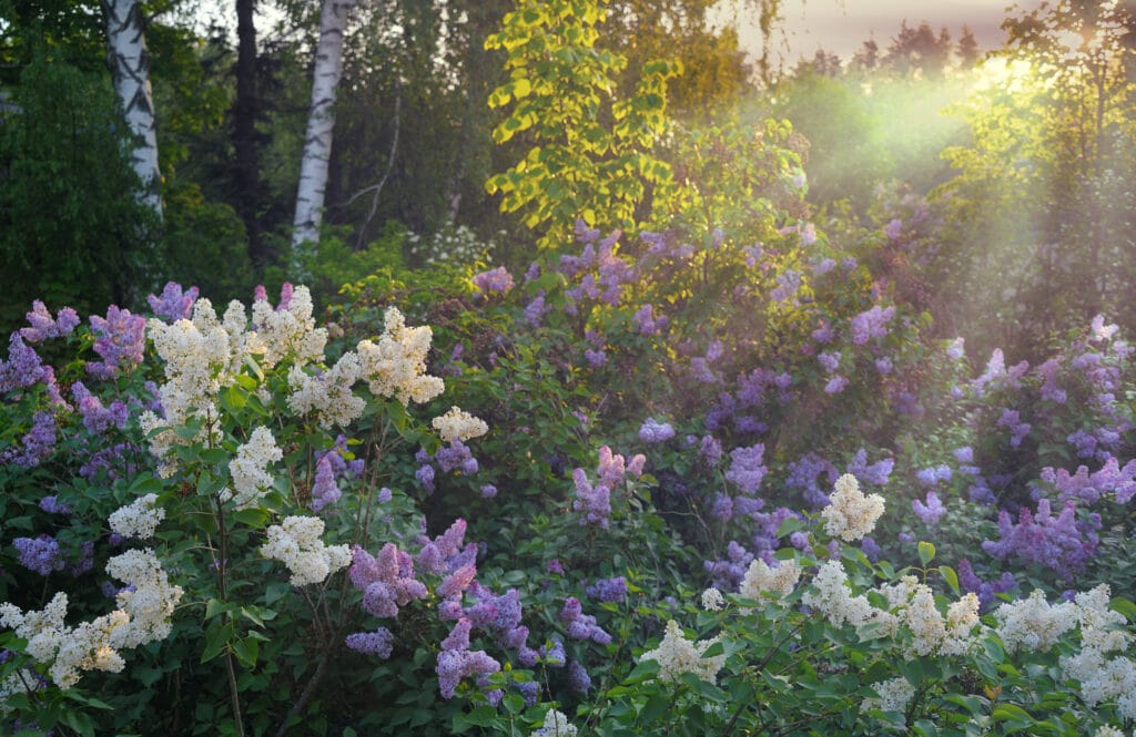 Learn how to plant different lilac varieties!