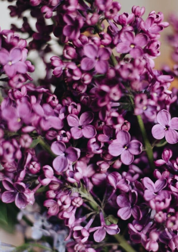 Learn how to plant lilacs!