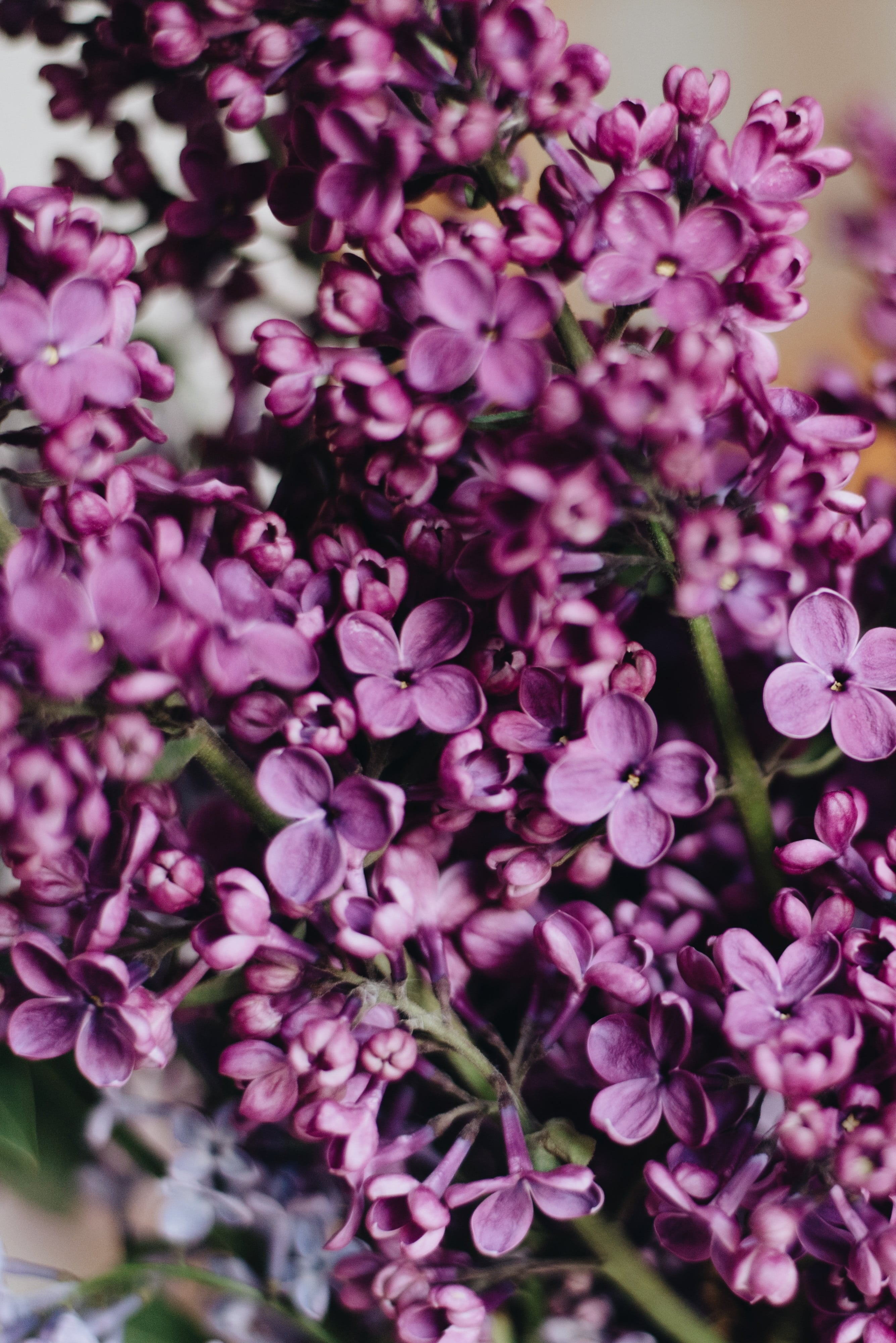 How to Plant Lilacs for Stunning Spring Blooms