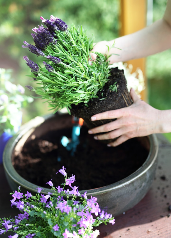 Learn how to plant and care for lavender!