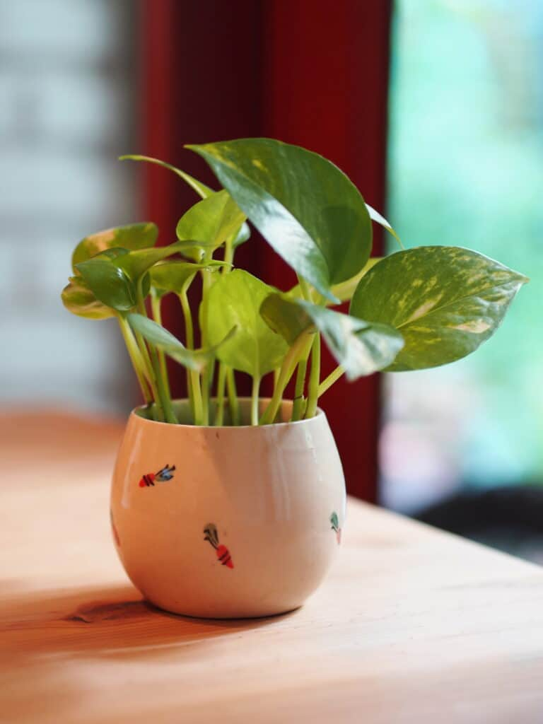 Learn how to propagate a pothos plant!