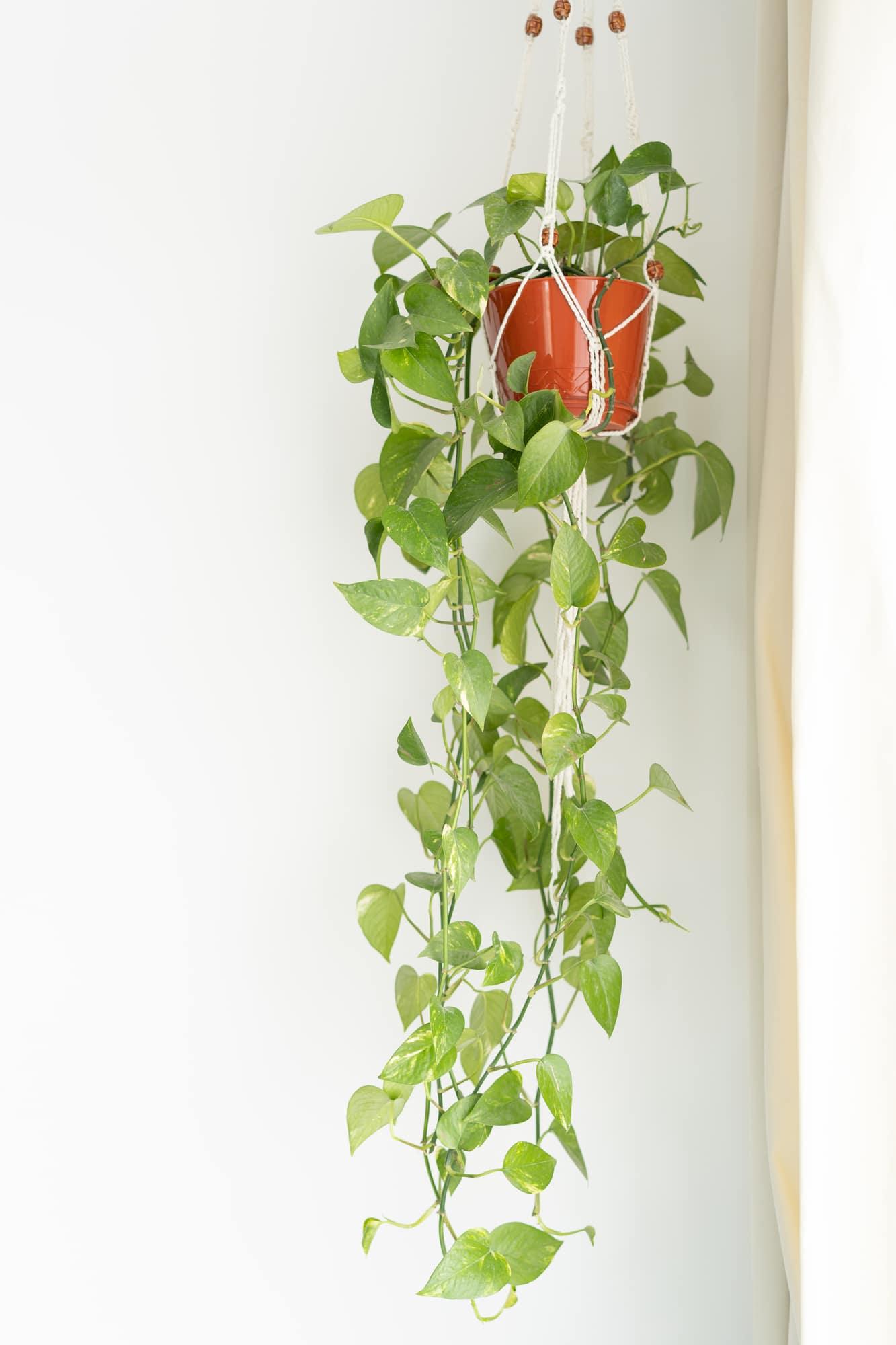 Plant Propagation How To Propagate A Pothos Plant Among The Lilacs