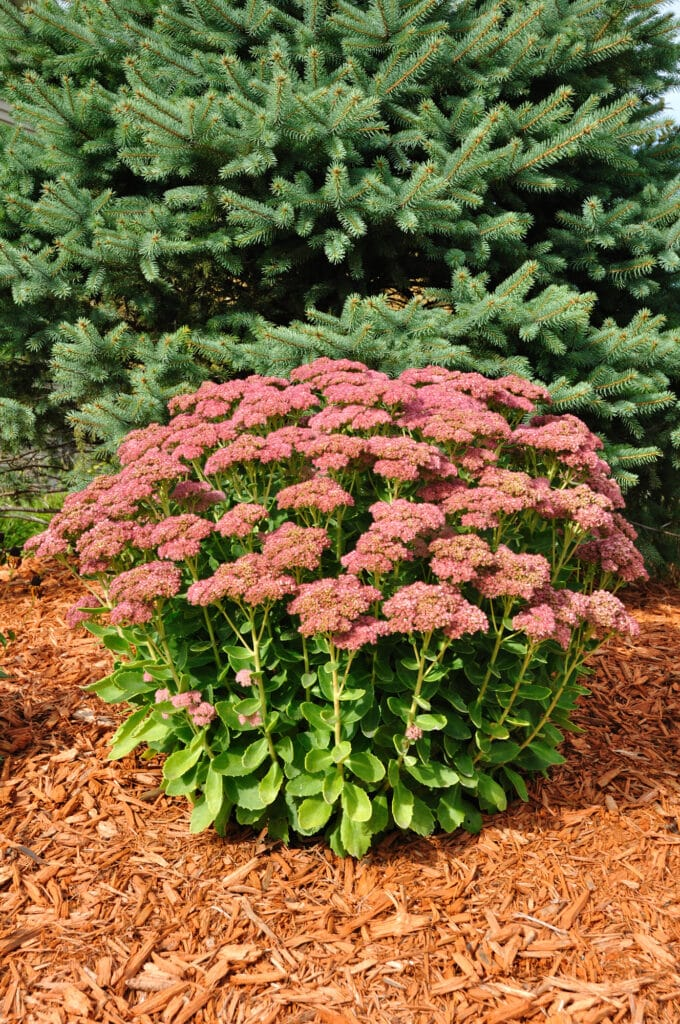 Sedum Autumn Joy .ong-blooming perennial