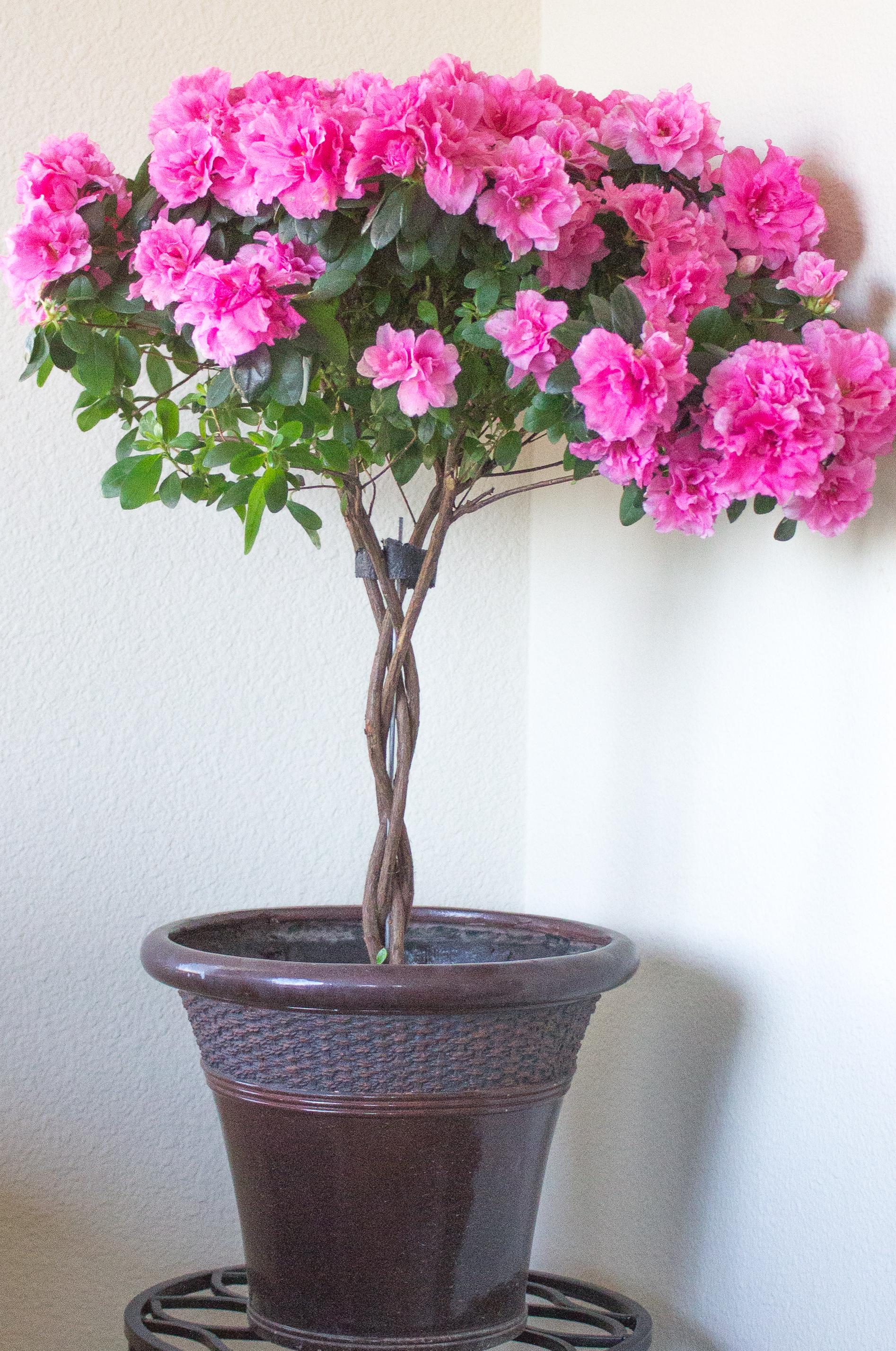 How to Grow Indoor Azalea Trees