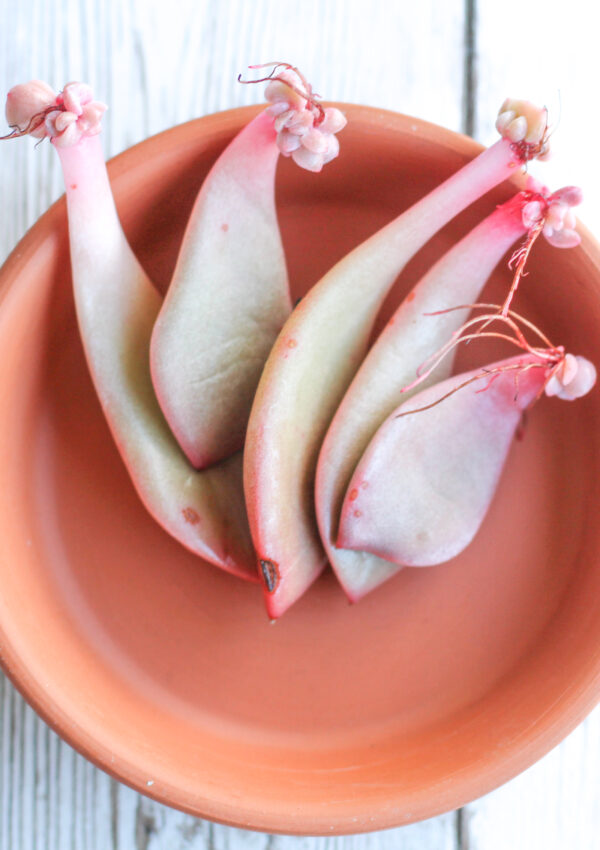 How to Propagate succulents when they've stretched out.