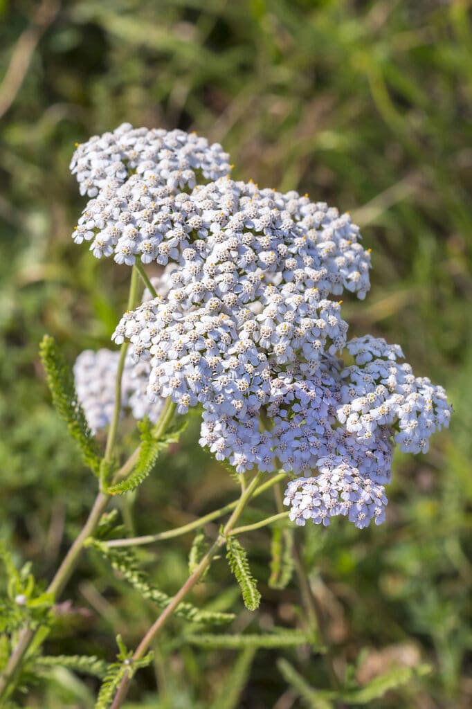 yarrow is a drought-tolerant perennial!