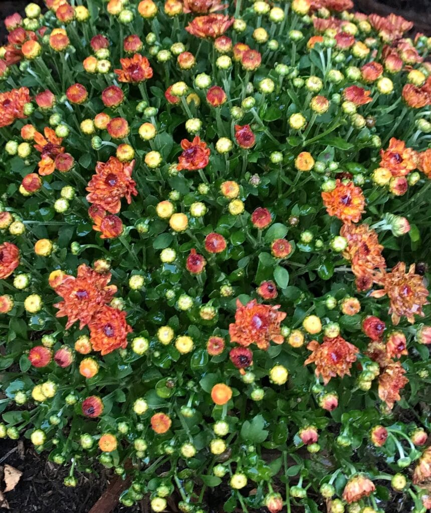 Learn how to care for Chrysanthemums!