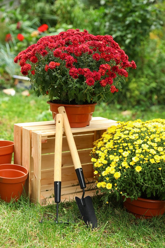 Learn how to grow chrysanthemums!