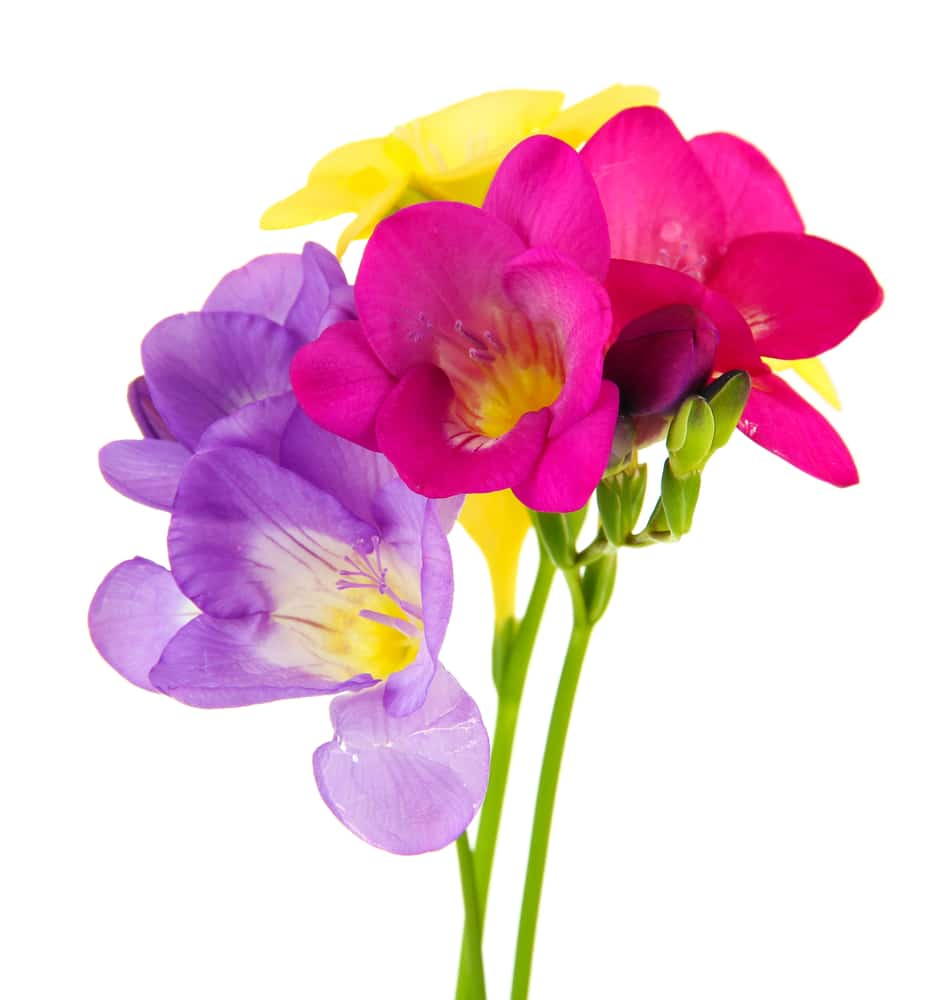 Freesias are some of the best-smelling and most fragrant flowers!