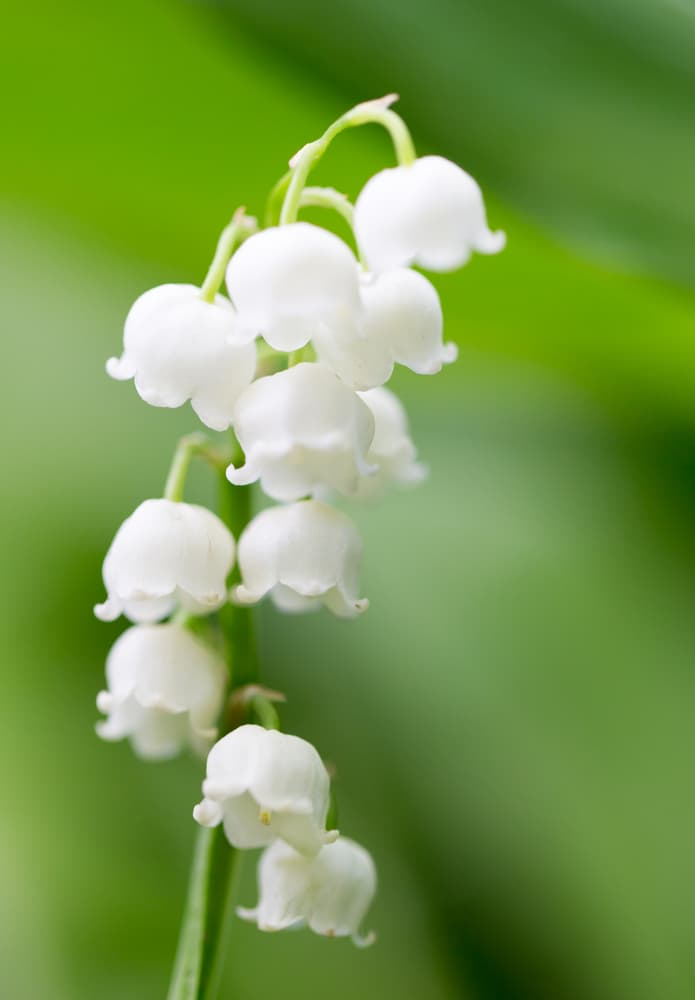 Lily of the Valley is one of the best-small flowers!