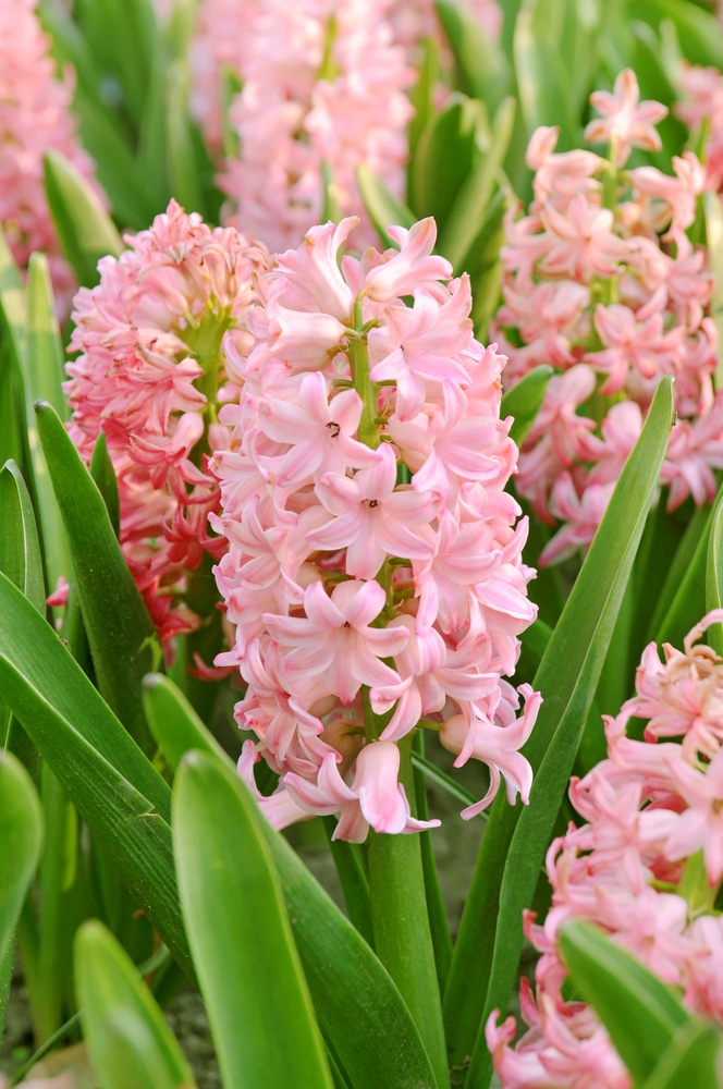 Hyacinth is one of the best-smelling and most fragrant flowers you can plant in your garden!