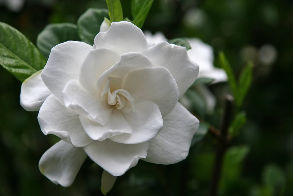 Gardenias are some of the best-smelling and most fragrant flowers you can plant in your garden!