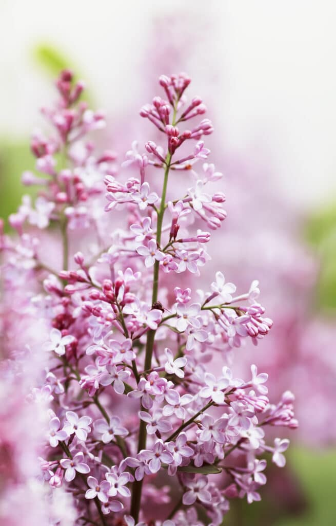 Get the planting tips you need to plant lilac bushes!
