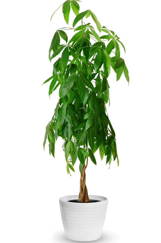 Money Tree Care: Essential Growing Tips