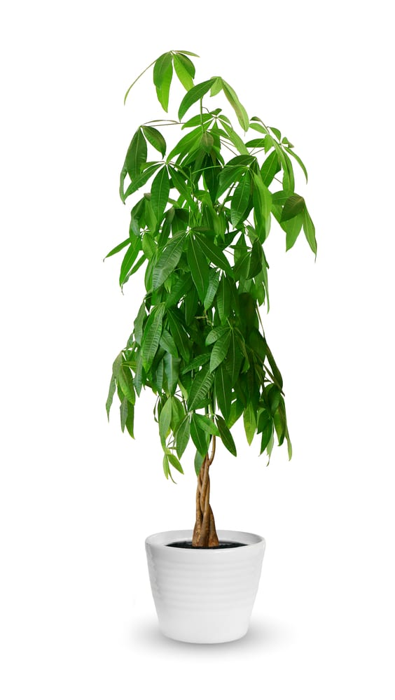 Learn how to care for a money tree in your own home!