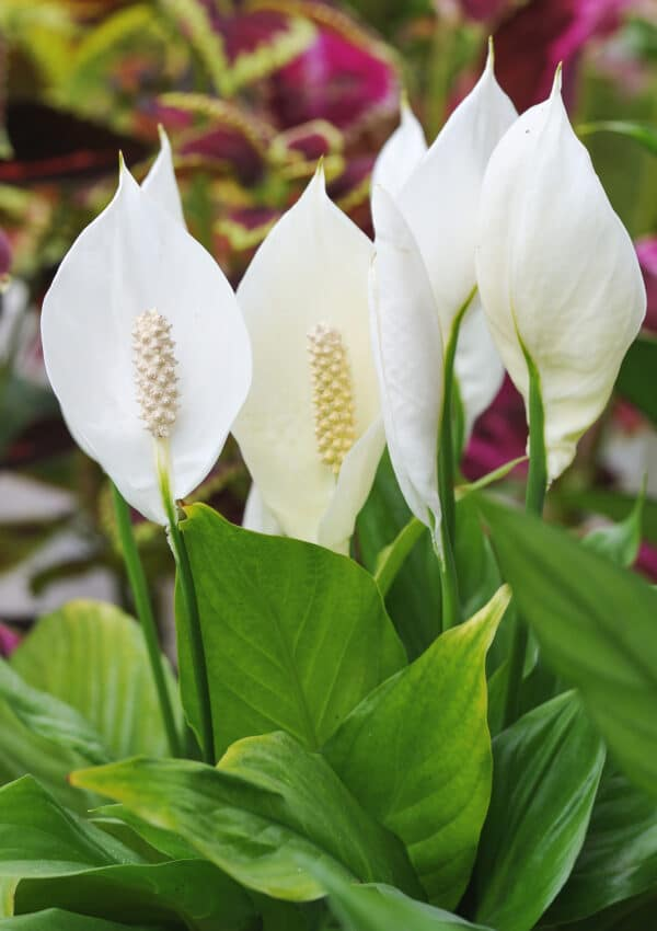 Peace Lily Care: How to Care for this Blooming Houseplant