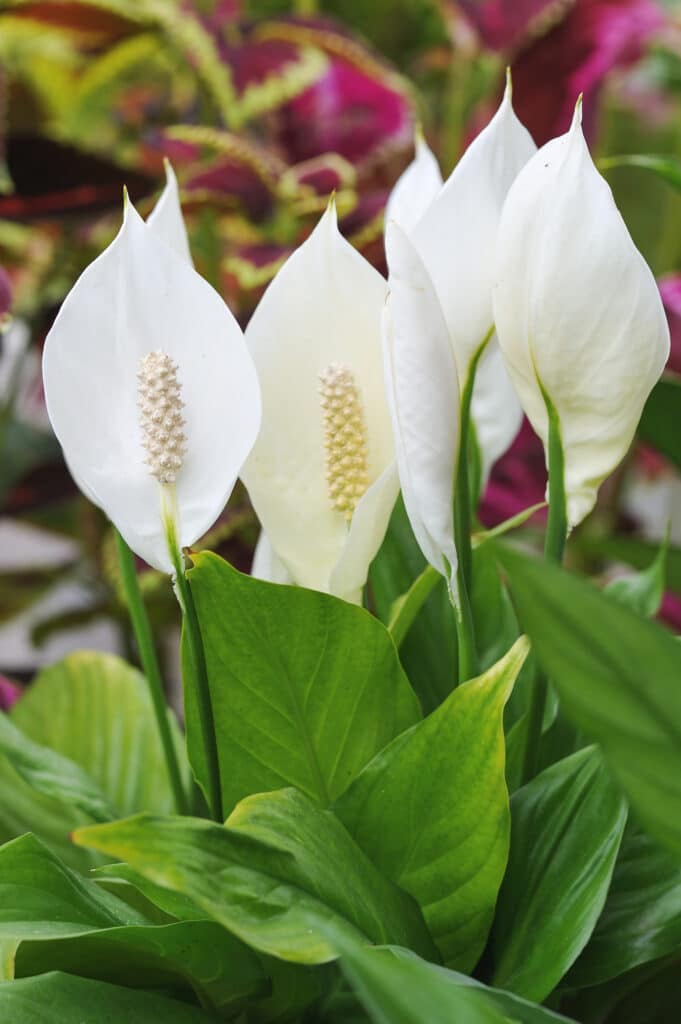 Learn all about peace lily care!