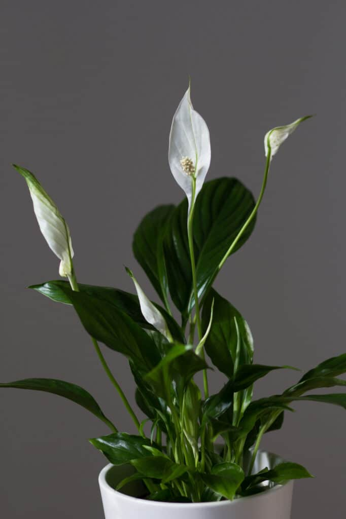 Learn all about peace lily care with this helpful post!