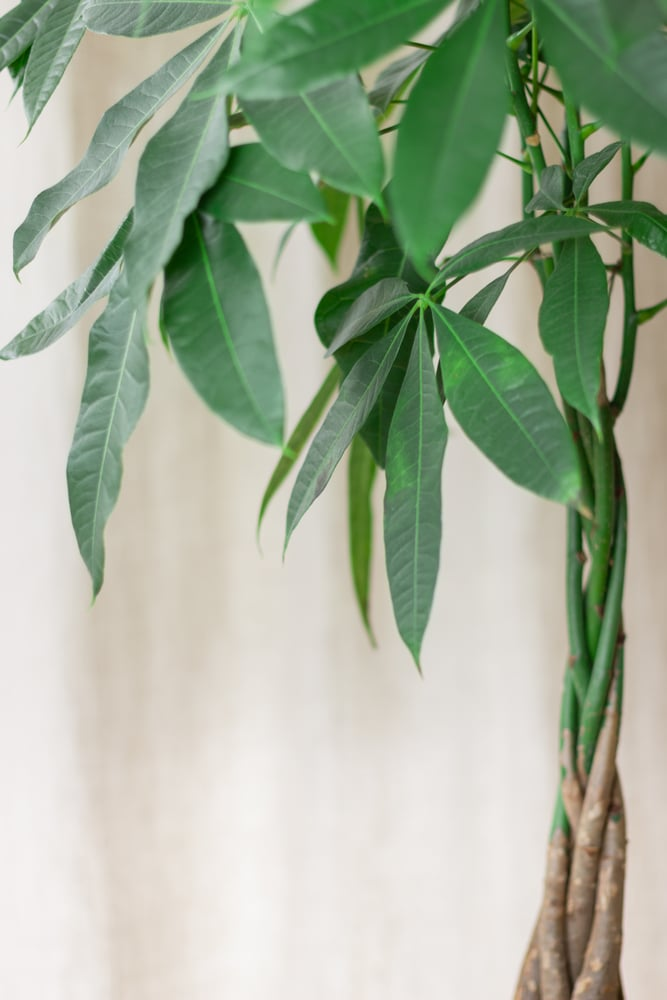 Learn how to care for an indoor money tree with this simple guide!
