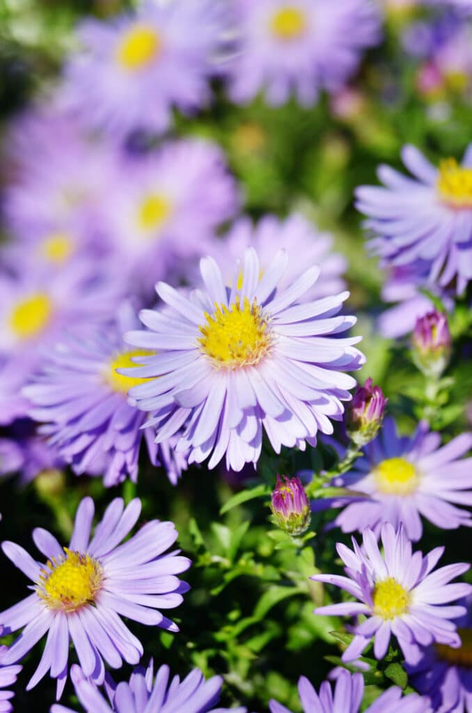 Asters is a long-blooming perennial