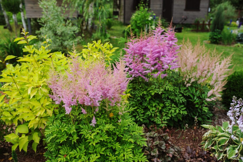 Astilbe is a long-blooming perennial