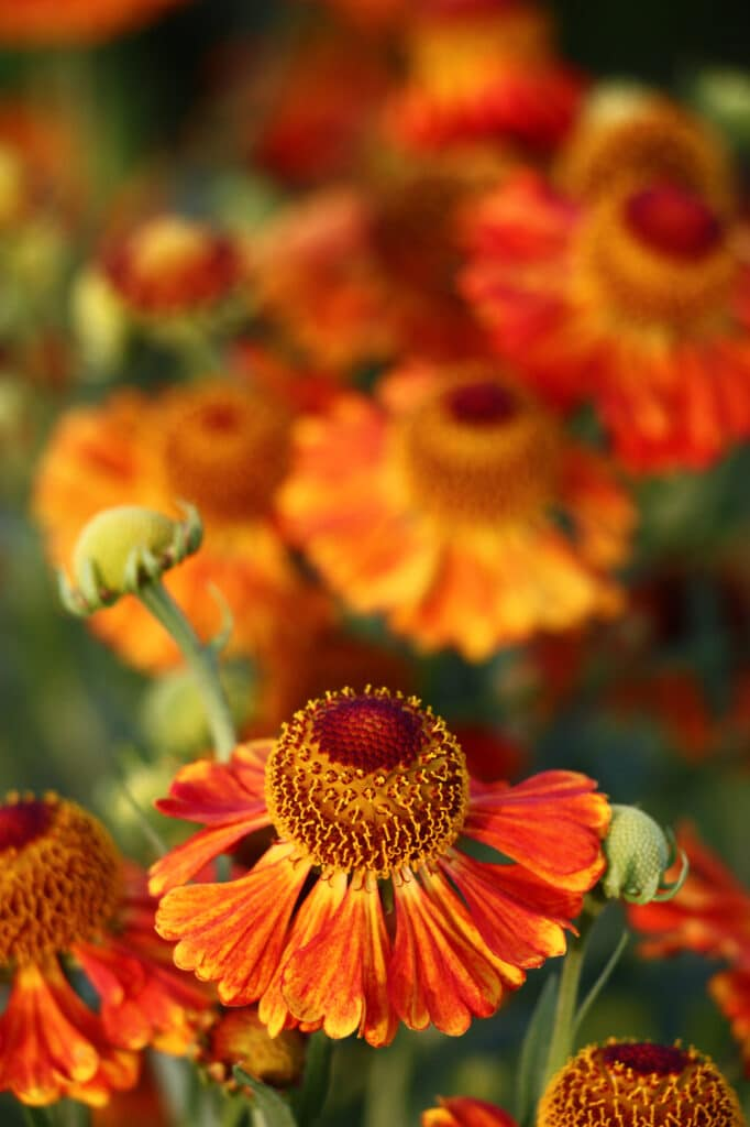 Helenium is a long-blooming perennial!