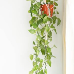 How to propagate a vining pothos plant!